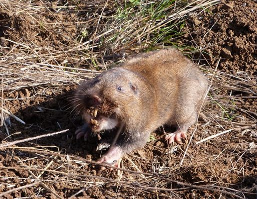 Pest Guide pocket gopher