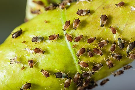Aphids on a plant - tree pest control