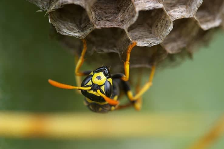Wasp Control Tips