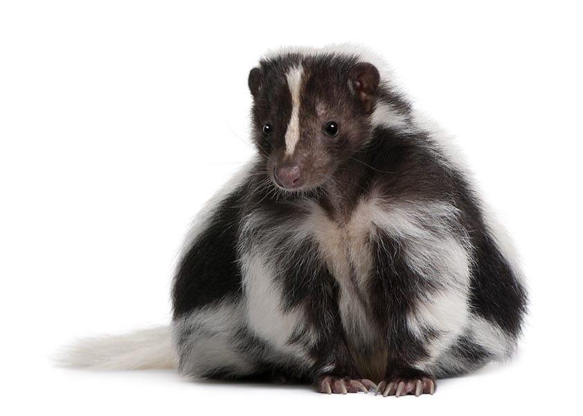skunks in Alberta