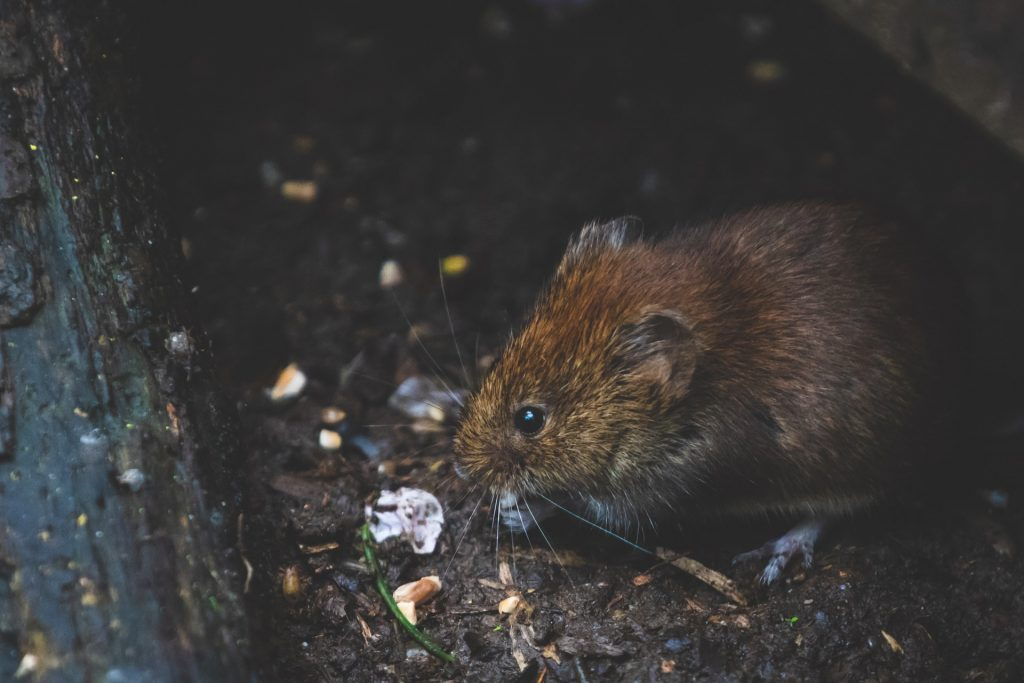 pest problems bank vole