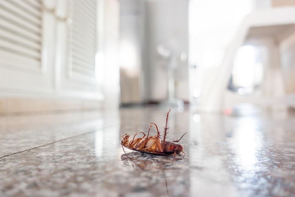 cockroach on house floor