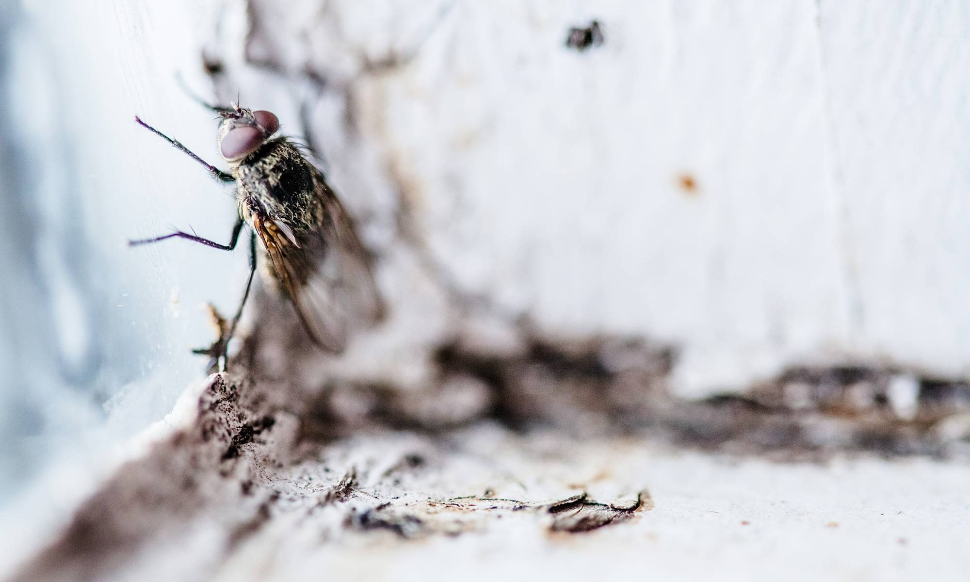 fly at a window sill - pests in your home