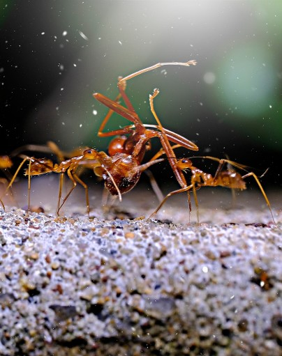 ants, Airdrie pest control options