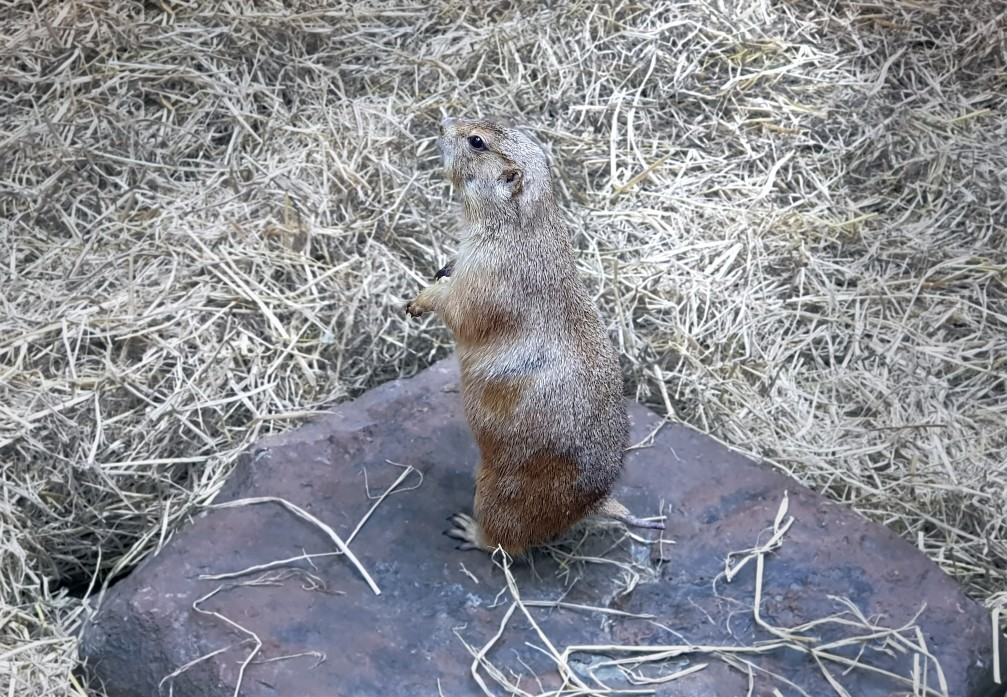 gopher on rock