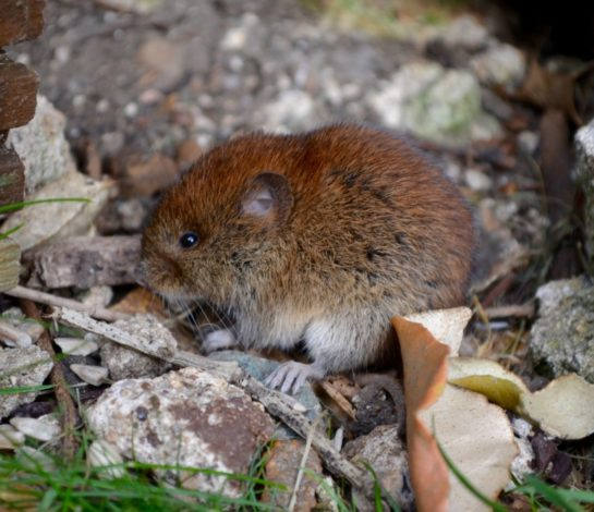 Voles are coming out, we offer vole control