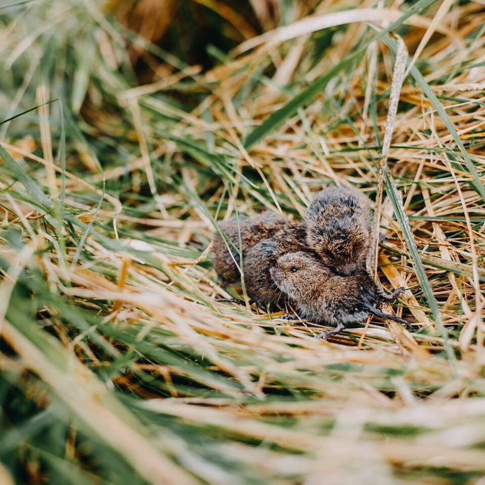 combatting voles in your yard