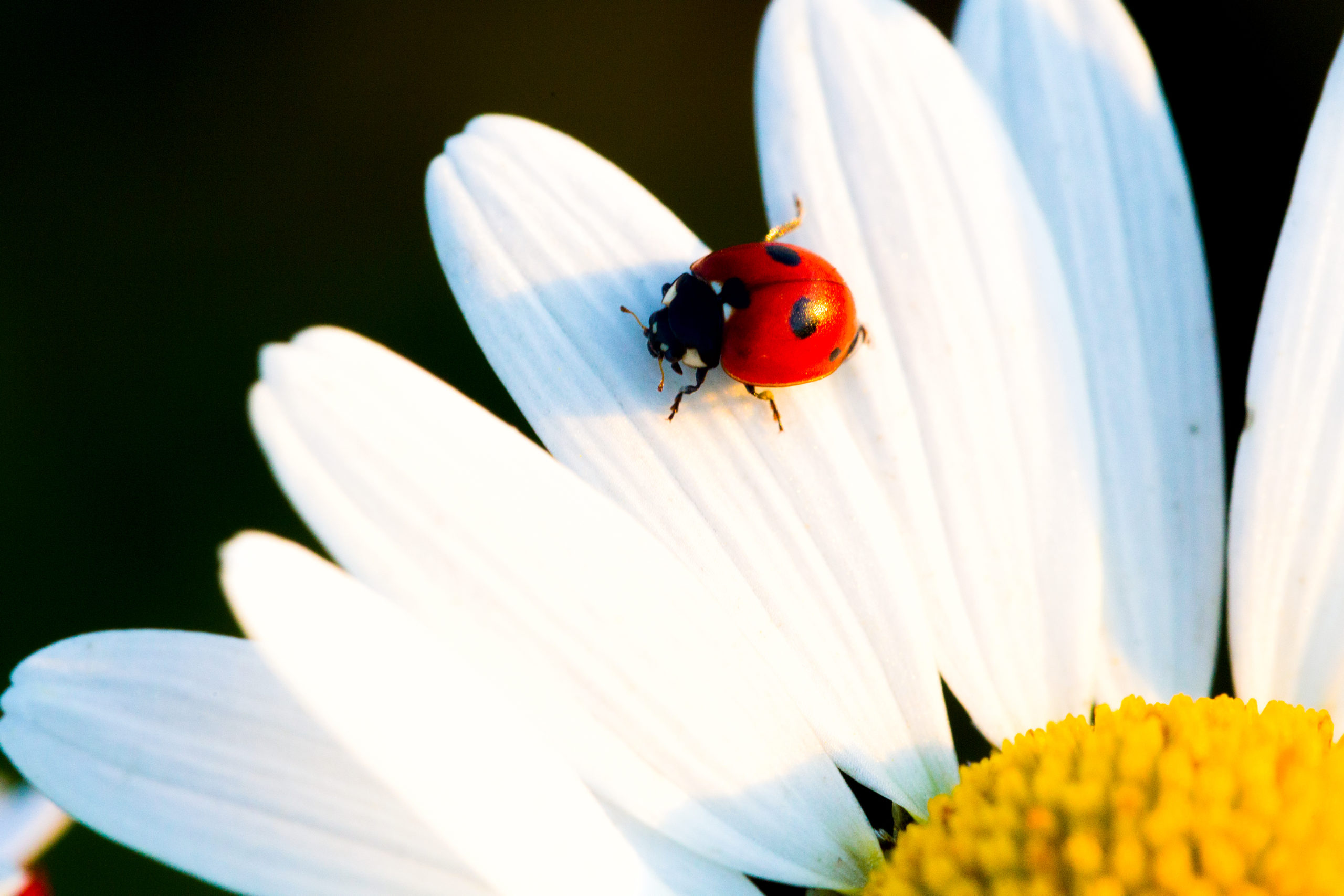 Ladybug's and their use in biologics