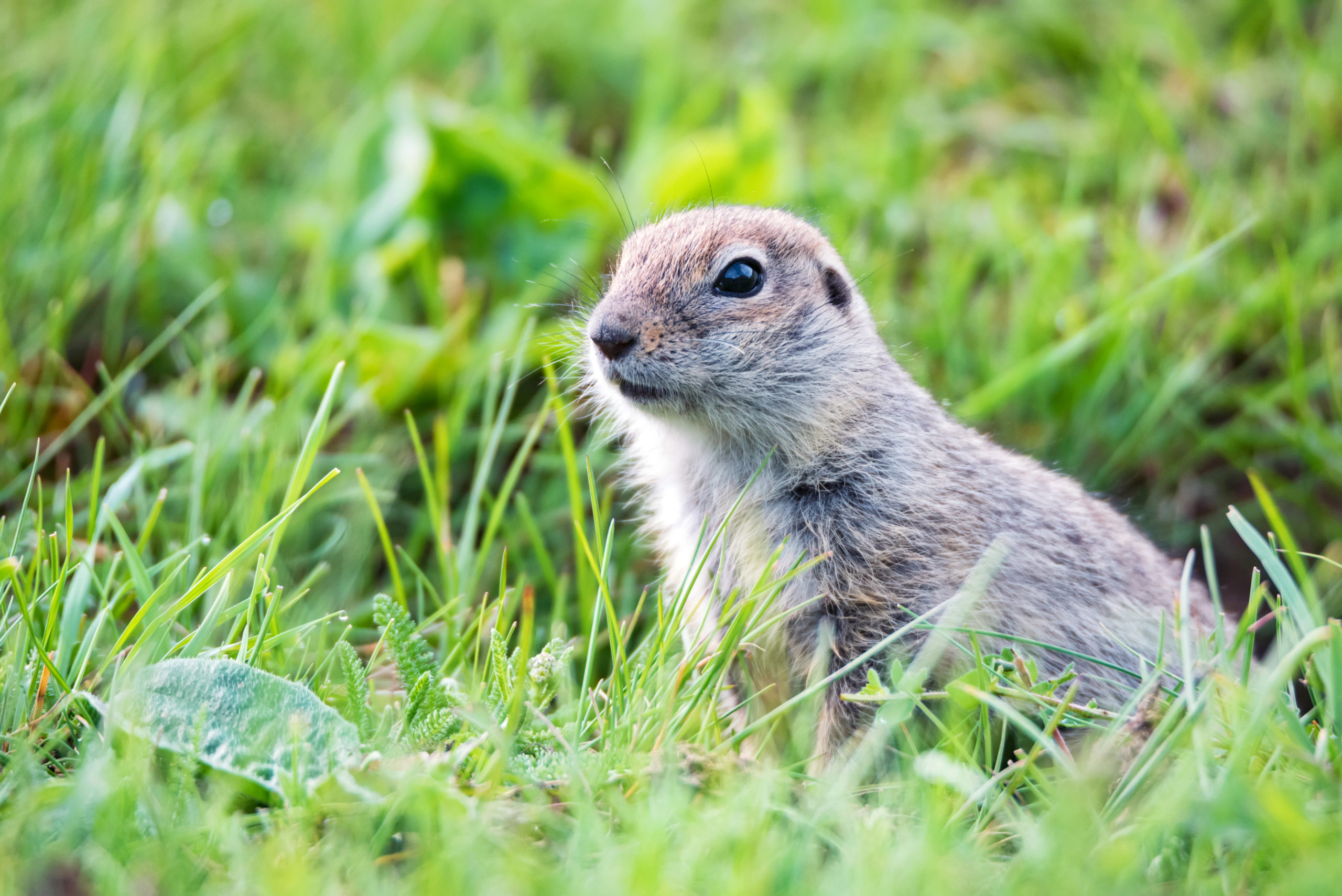 mountain gopher and using biologics to control them