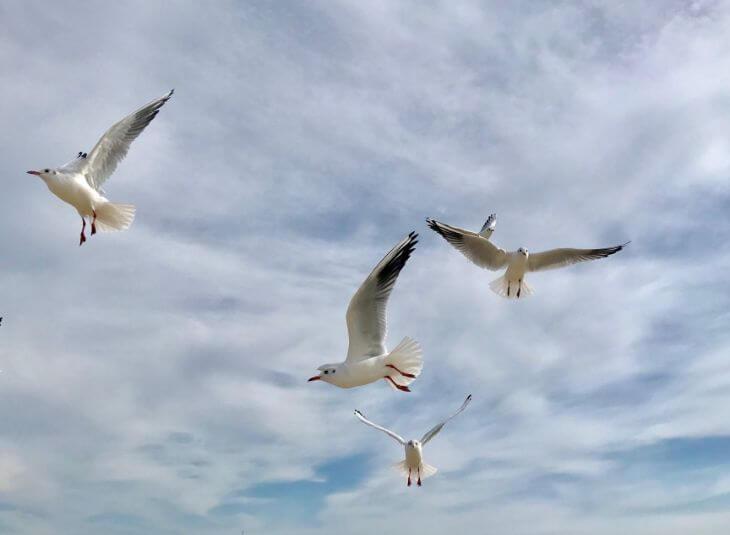 seagulls, birds in Calgary