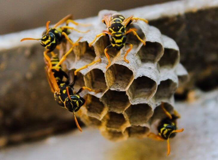 wasp control for nests