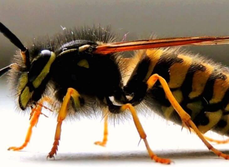 wasp-control